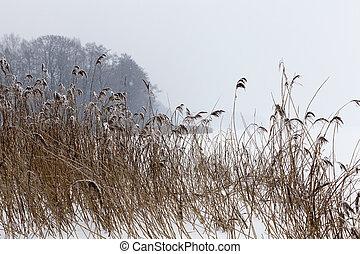Dry plants in winter