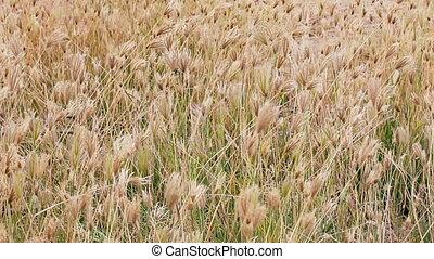 Dry prairie grass with seeds swayin - 1920x1080 hidef, hdv -...