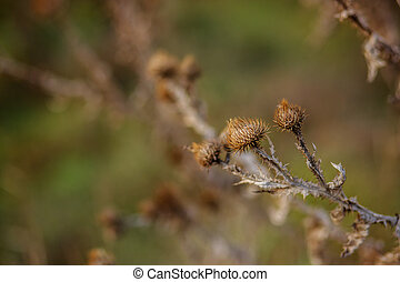 Dry prickly plant, thistle, close-up, autumn.