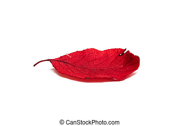 Dry red leaf of tree isolated on white background