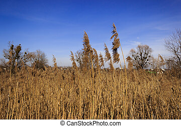 Dry reed against the blue sky