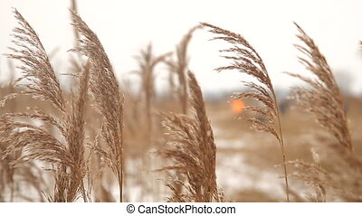 Dry reed by the winter riverside