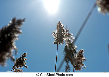 Dry reed on sky background