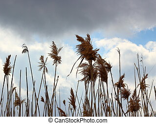 Dry reed on the sky background