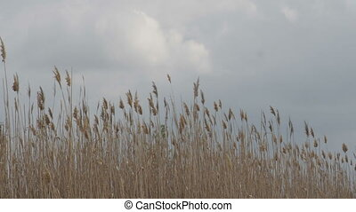 Dry reed waving on the wind against rainy spring sky