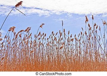 Dry reeds