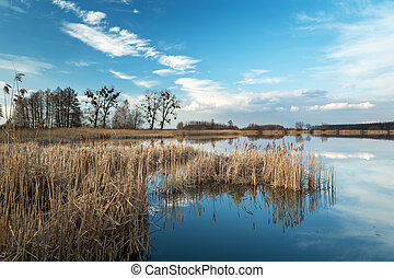 Dry reeds growing in a calm lake, white clouds on the blue sky