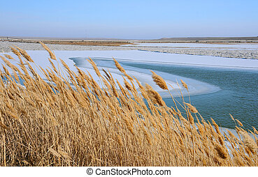 Dry Reeds in the Winter