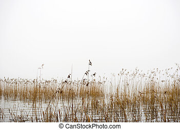 Dry reeds on foggy winter day