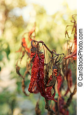 Dry ripe red homegrown chili pepper in garden