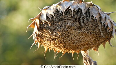 Dry ripe sunflower on the field close up view