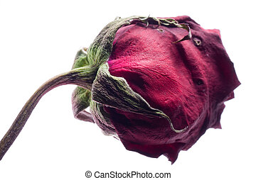 dry rose flower isolated on white