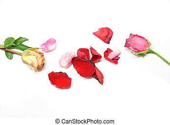 Dry roses isolated on white