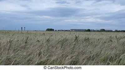 dry rye field on the background of a large farm in the daytime