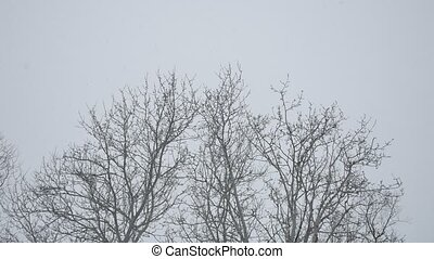 dry snowing branches outdoors of trees tops winter forest in...