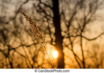 Dry spikelet against the backdrop of a beautiful sunset