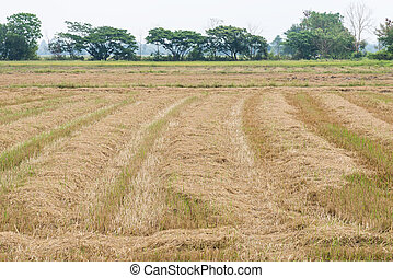 Dry straw in the paddy field after the harvest time.