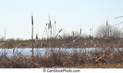 Dry swamp grass. Ripe dry cattail on the lake. Camera...