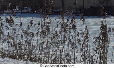 dry tall grass near a frozen lake.