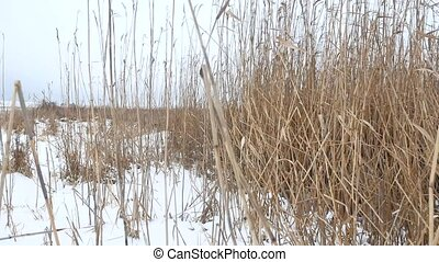 dry the grass marsh winter reed beautiful landscape nature -...