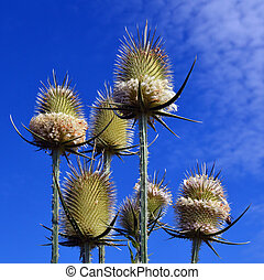 Dry Thistle flowers close up - Dry Thistle flower close up...