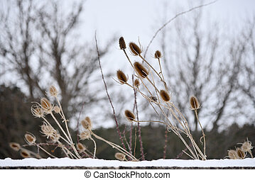 thistle in the snow