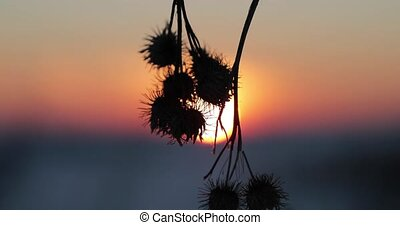 dry thorns thistles in winter at sunset
