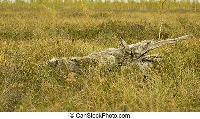 Dry tree in the field. Autumn daytime. Smooth dolly shot