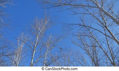 dry tree tops on blue sky winter forest the nature landscape...