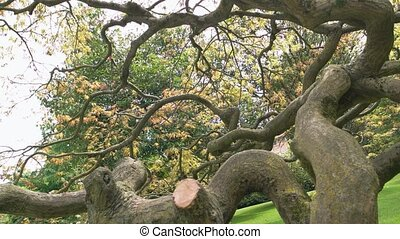Dry tree with twisted branches. Old oak in the park.