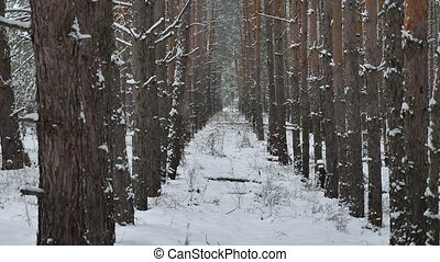 Dry trunks of pine christmas tree tree nature trunks winter forest landscape of wild