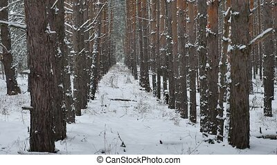 Dry trunks of pine christmas tree tree trunks nature winter forest landscape of wild