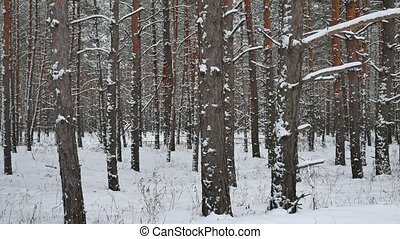 Dry trunks of pine christmas tree winter forest landscape of wild nature