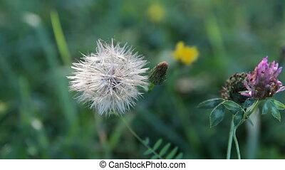 Dry white dandelion in blured grass background