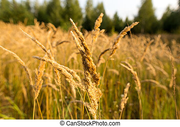 Dry yellow grass in the open air