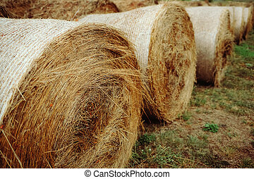 Dry yellow hay rolled up in bales. Harvesting animal feed on the farm.