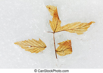 Dry yellow leaf on the ice surface