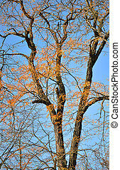 dry yellow leaves on a tree against a blue cloudless sky