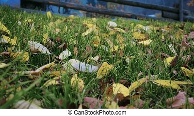 dry yellow leaves on the green grass. low angle shooting,...