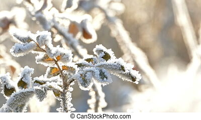 Dry Yellow Leaves With Hoarfrost in a Frosty Cold Day