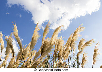 Dry yellow reed