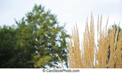 Dry yellow reed grass is waving in the wind