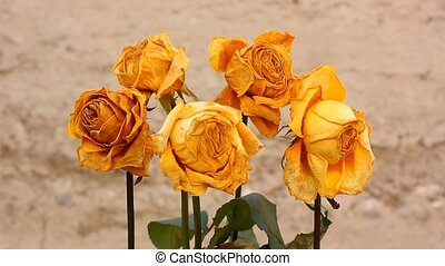 Dry yellow rose flowers
