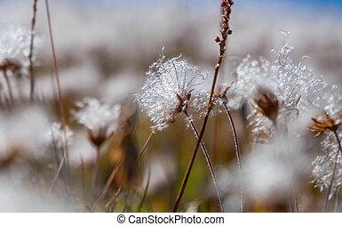 Dryas - seeds ready to fly Alpine flowers
