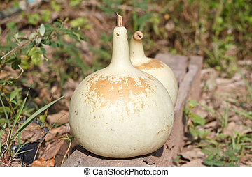 Drying Bottle gourd for keep the seed.