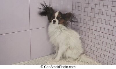 Drying dog after bathing Continental Toy Spaniel Papillon...