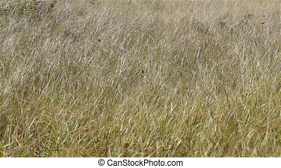 Drying grasses blowing in the wind.
