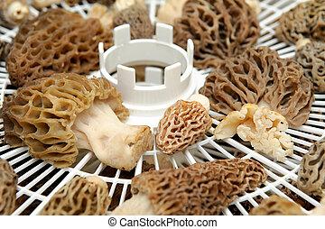 Drying Morel Mushroom