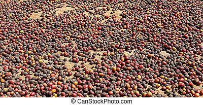 View of drying of collected coffee beans near the city of Piura, region called Jijili. In the north of Peru