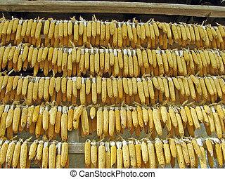 drying of ears of corn on a farm in Italian